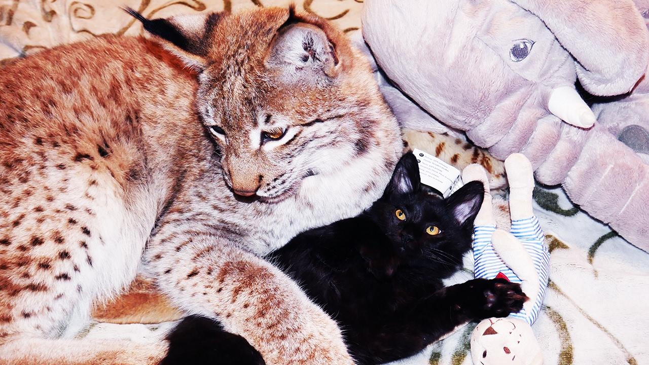 лунный календарь помесь кота и рыси манжеты цвет