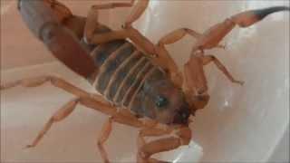 Skorpiony dla początkujących terrarystów