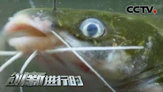 《创新进行时》 20201014 新品黄颡鱼(一)| CCTV科教 - YouTube