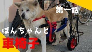 秋田犬のぼんちゃんに車椅子が届きました。老犬でも、お外を思いっきり...