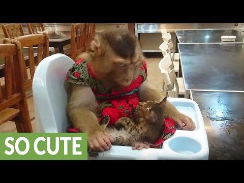 Monkey rescues stray kitten