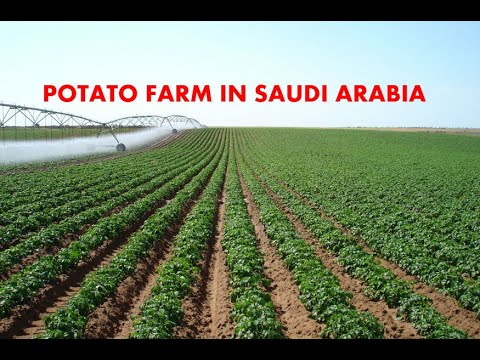 Power Self-Sustaining potato Farm in Saudi Arabia  (KSA)ഉരുളക്കിഴങ്ങു പാടം taste of travel