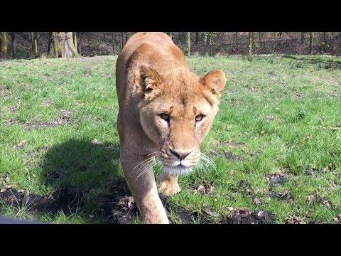CRAZY LION ENCOUNTERS!!!