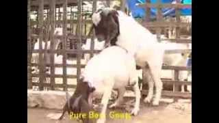 Boer Goat farming - India - Vijay Farms - www.boerindia.com