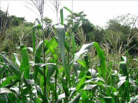 Proceso de plantaci n de cultivo maiz youtube for En cuanto tiempo se cosecha la tilapia