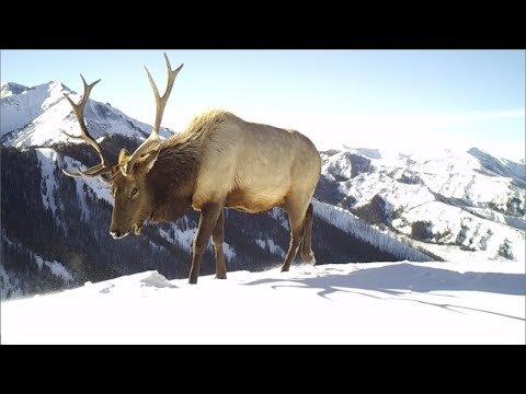 Amazing Trail Camera Scenes from Yellowstone Elk Migrations