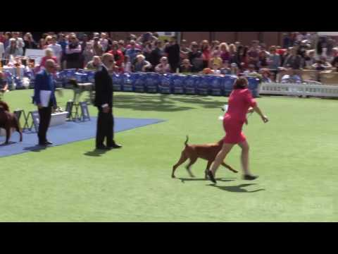 Gun Dogs (group 3) - General Specials Day - Royal Melbourne Show All Breeds Championship Dog Show