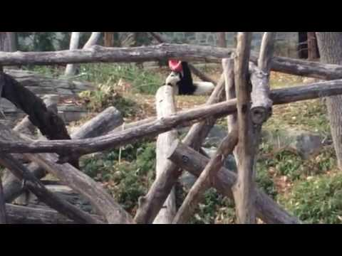 GIANT PANDA!!!!