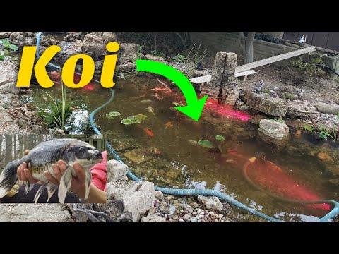 Stocking 3,500g Pond With EXPENSIVE KOI