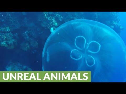 Small Reef Fish Uses Venomous Moon Jellyfish In Brilliant Way