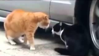 Коты приколы коты мяукают