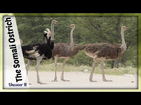 The Somali Ostrich - Information About Birds - Bird Facts