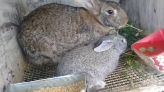 Обзор месячных крольчат великанов и их самок.