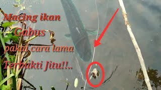 Download Video Cara tradisional mancing Ikan Gabus Di Rawa MP3 3GP MP4