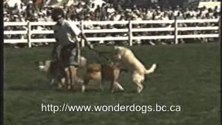 Victoria Dog Training - Bolting Dog