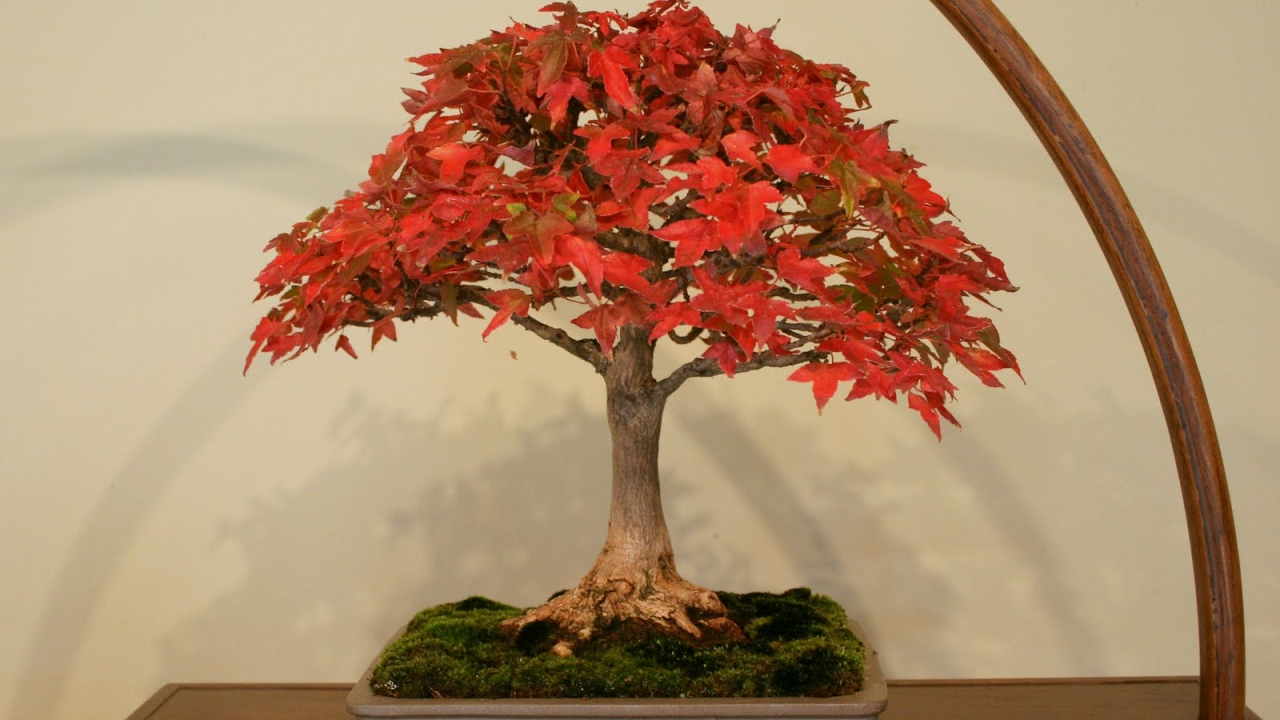 Anese Maples Acer Palmatum Dragons Fire