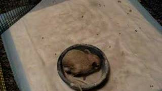 Gizmo the Jerboa discovers the Dust Bath