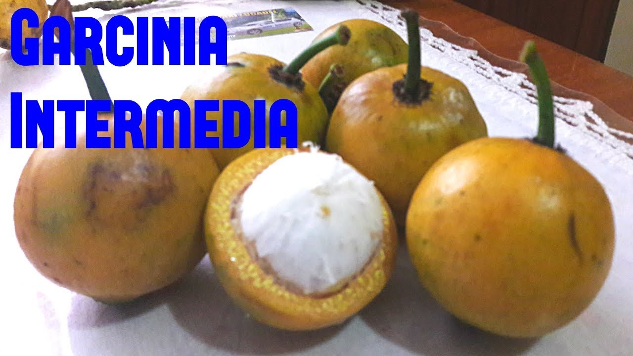 Garcinia Intermedia Review - Weird Fruit Explorer Ep  206