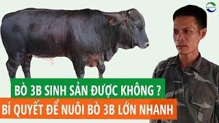 Nuôi Bò 3B Làm Giàu: Bí quyết nuôi BÒ 3B LỚN NHANH củaTrại Bò 3B Thái Nguyên