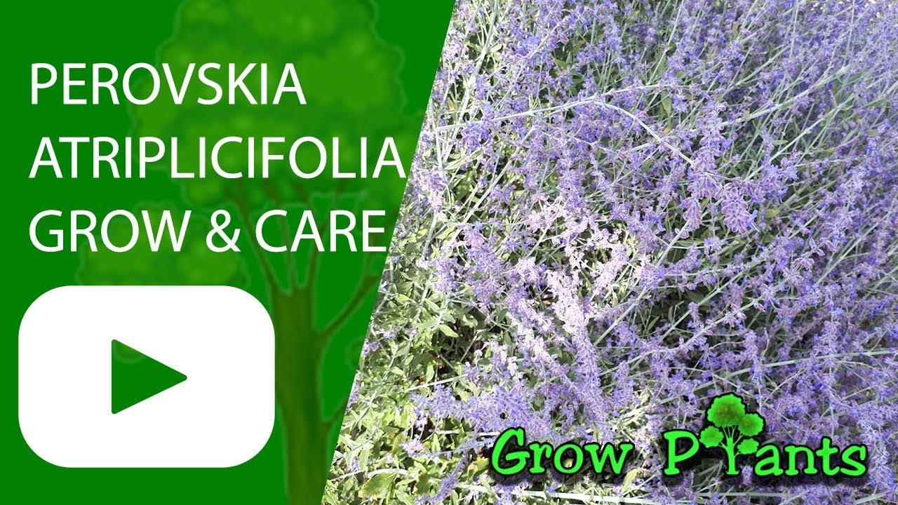 perovskia atriplicifolia 39 blue spire 39 grow and care. Black Bedroom Furniture Sets. Home Design Ideas