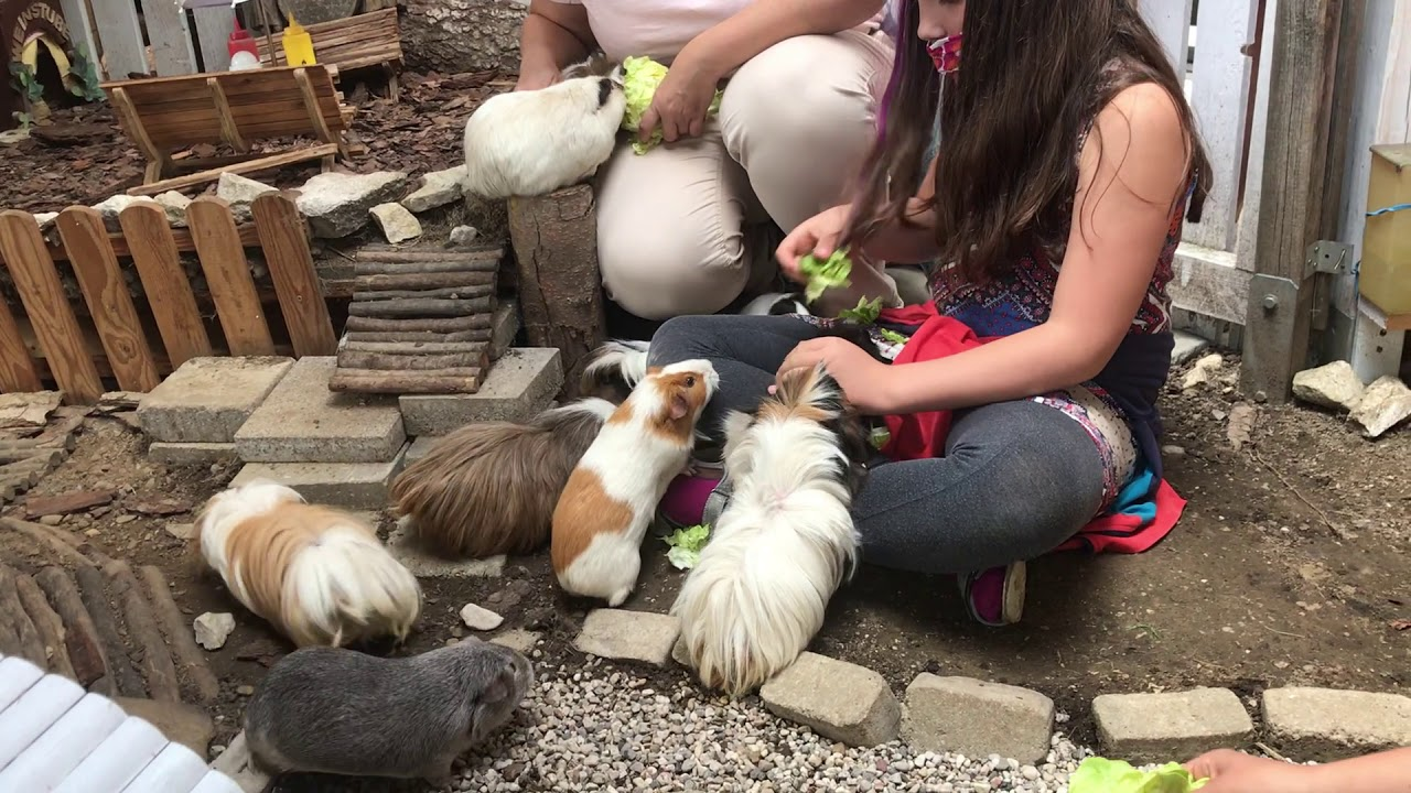 Besuch auf der Meerschweinchenfarm