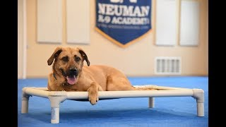 Ozzie (Boxer mix) Boot Camp Dog Training Video Demonstration