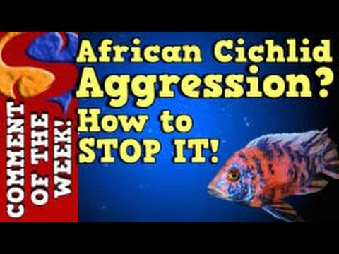African Cichlid Aggression, Why It Happens and How To Stop It! COTW Episode 10