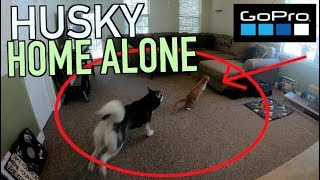 Leaving My Husky Home Alone With A GoPro