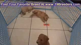 Golden Doodle, Puppies, For, Sale, In, Albuquerque, New Mexico, NM, Gallup, Carlsbad, Alamogordo, Ho