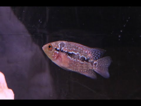 Baby Flowerhorn Care - YouTube