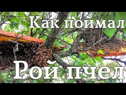 ловим пчелиный рой