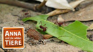 Das Geheimnis der Blattschneiderameise (Doku)   Reportage für Kinder   Anna und die wilden Tiere