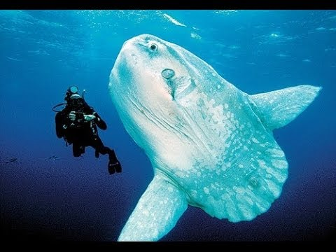 10 Facts about the Ocean Sunfish