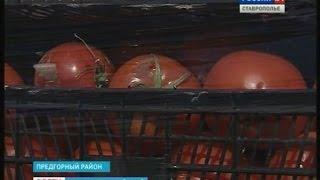 Полтонны помидоров - под бульдозер