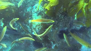 School of Senorita Fish and Sheeps Head Eating a Sea Urchin at Catalina while Scuba Diving