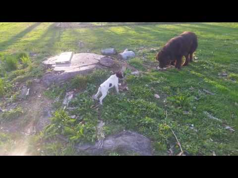 First week with German Shorthair Pointer Puppy with Newfoundland Dog