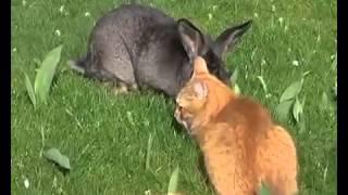 Любовные игры (секс) кролика и кота - Love games (sex) cat with rat
