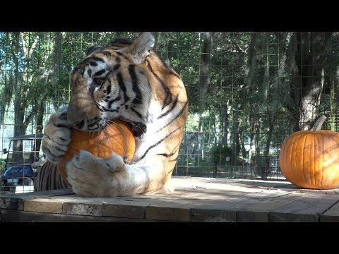 BIG Cats VS Pumpkins