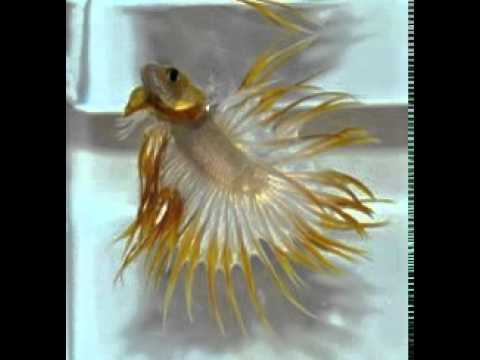 Golden crowntail fighter betta fish for sell mulund mumbai for Black betta fish for sale