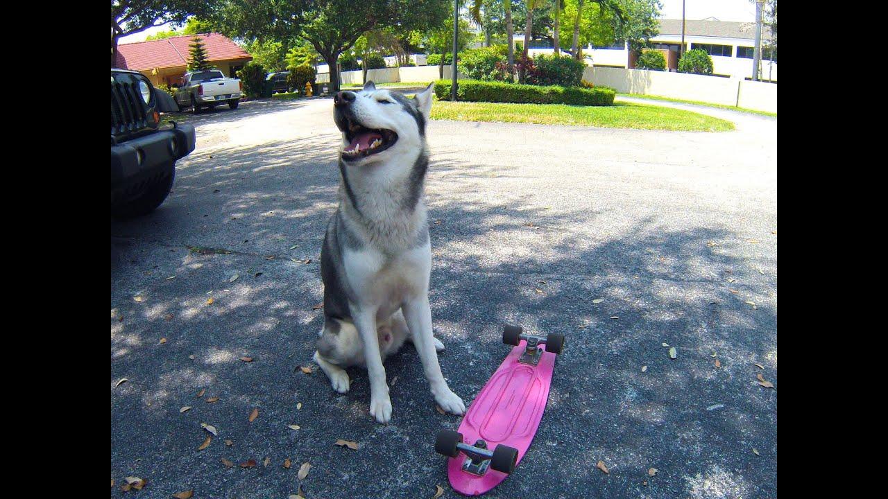 Husky Pulling Penny Skateboard!