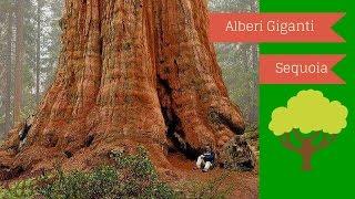 Alberi Giganti,sequoie,alberi secolari (curiosita)