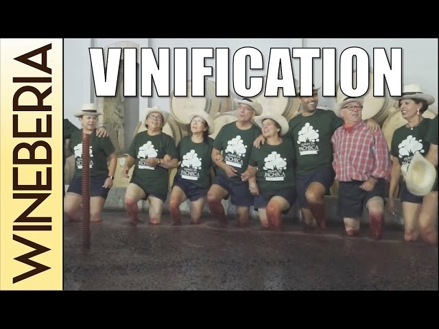 VINIFICATION (Qta Pacheca p2) | Step by step of winemaking process