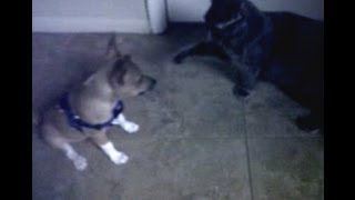 Watch Olive the Rat Terrier Puppy battle Graham the Gray Cat