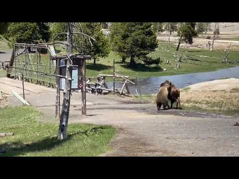 Bear Attacks, Drags and Kills Bison in Yellowstone National Park