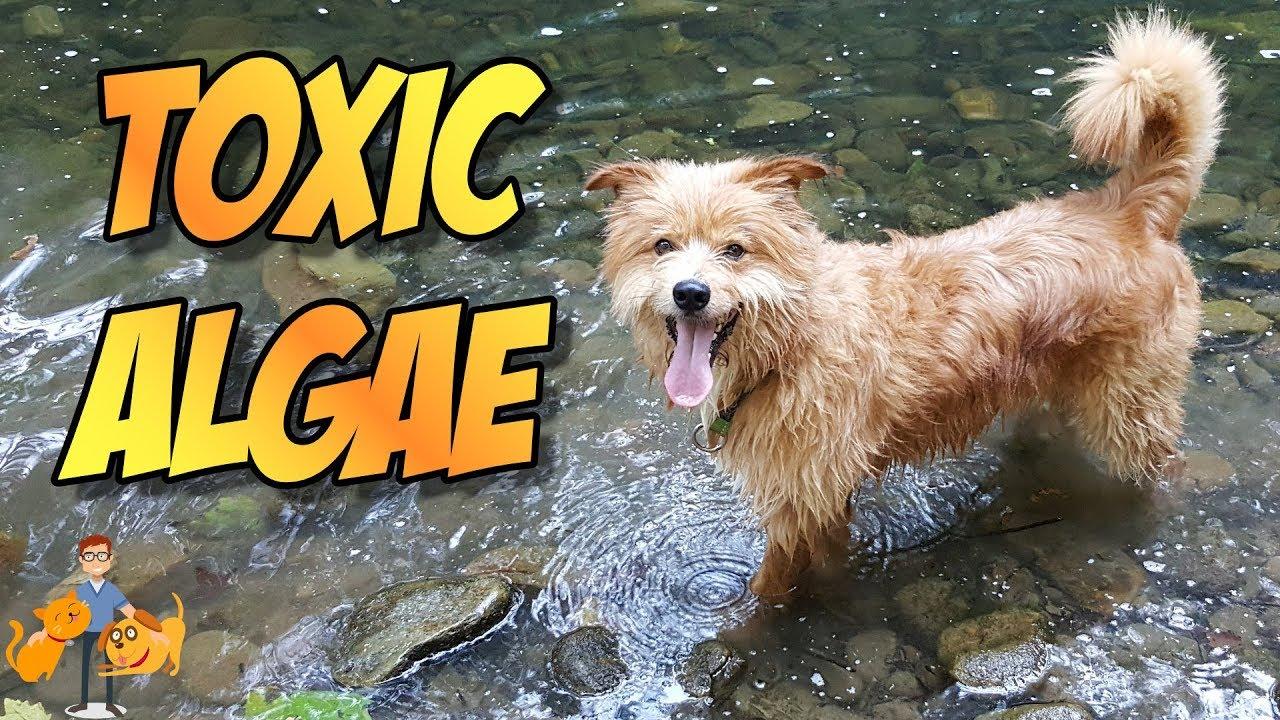 Algae Can Poison Your Dog