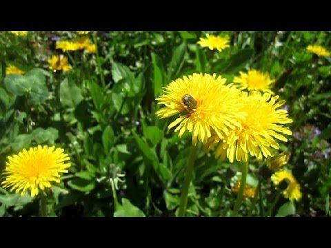 Ве�на Од�ван�ики П�ела Ж�к Ап�ел� bee beetle nectar
