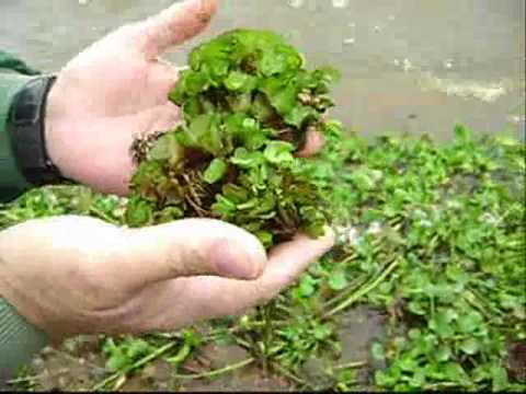 Giant salvinia weathers the winter