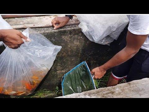 Koi Carp Gold Fish