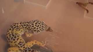 Чёрный таракан после неоднократных набегов на ящерицу был в конце концов съеден
