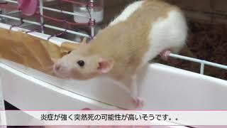 Rat ファンシーラット 珍しいペット キモカワ.